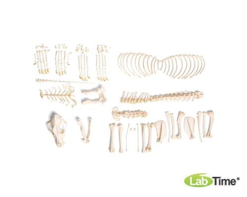 Модель скелета собаки (Canis lupus familiaris), Размер М, набор элементов без крепления