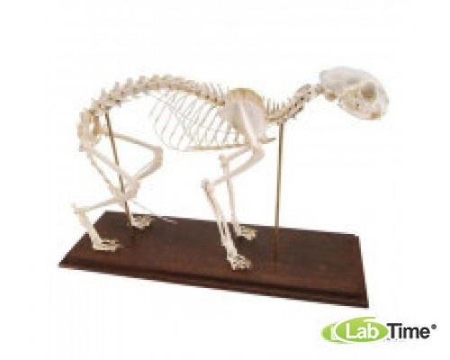 Модель скелета кошки (Felis catus), 230 элем. гибкий крепеж