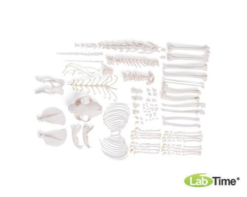 Модель скелета кошки (Felis catus), набор элементов без крепления
