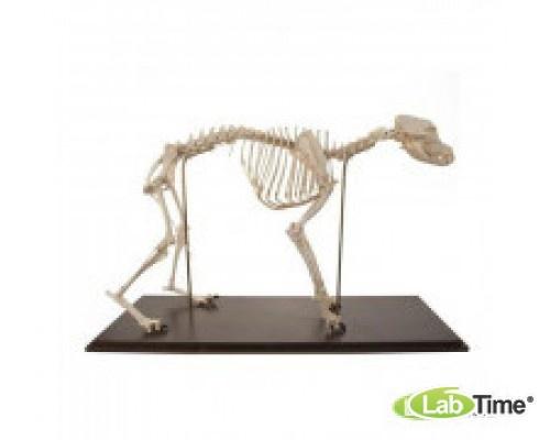 Модель скелета собаки (Canis lupus familiaris), Размер М, 280 элем. гибкий крепеж