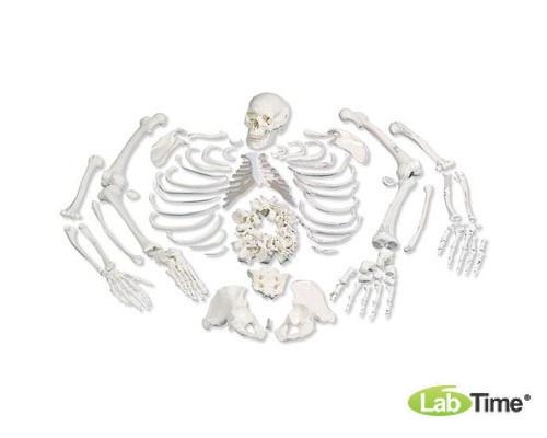 Модель целого скелета, разобранная, с черепом из 3 частей