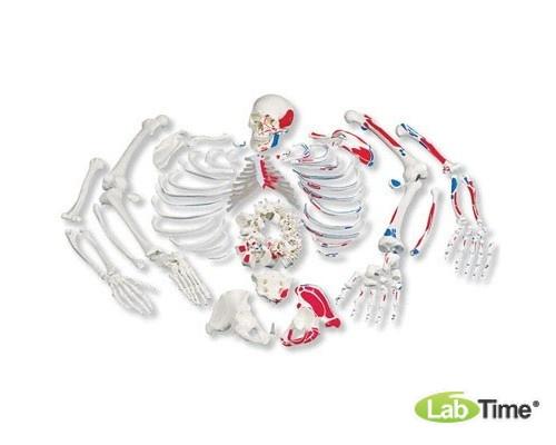 Раскрашенная модель целого скелета, разобранного, с разметкой мышц, с черепом из 3 частей