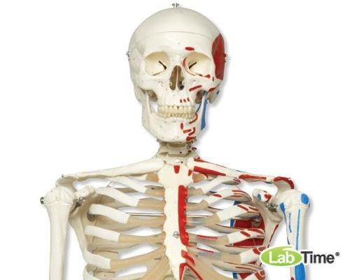Модель скелета с мышцами «Max», подвешиваемая на 5-рожковой роликовой стойке