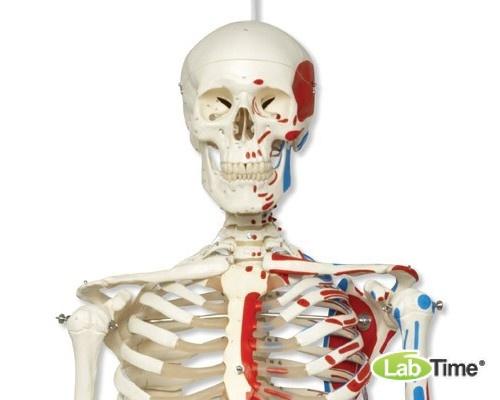 Модель скелета с мышцами «Max», на 5-рожковой роликовой стойке