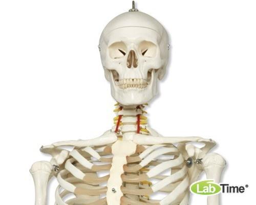 Модель гибкого скелета «Fred» класса «люкс» (одна гибкая кисть и ступня), на 5-рожковой роликовой с