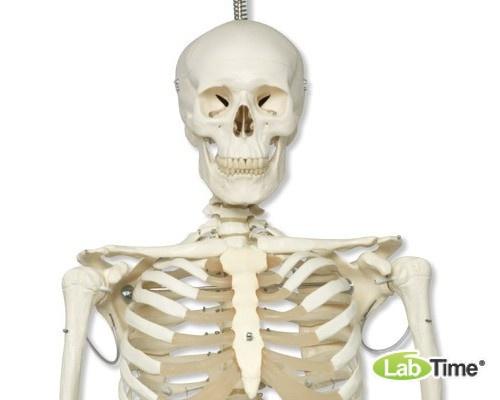 Физиологическая модель скелета «Phil», подвешиваемая на роликовой стойке