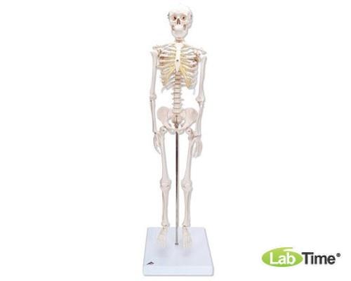 Модель мини-скелета «Shorty», на подставке