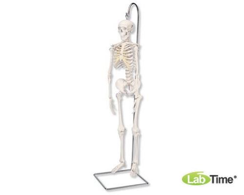 Модель мини-скелета «Shorty», подвешиваемая на стойке