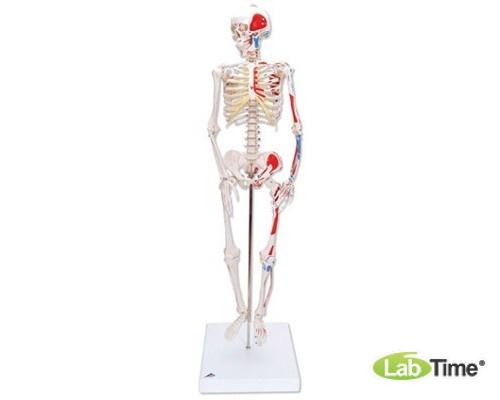 Модель мини-скелета «Shorty», с разметкой мышц, на подставке