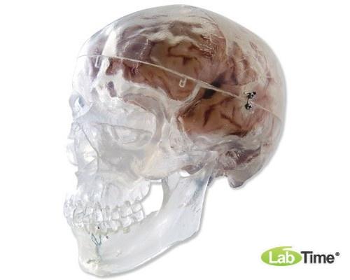 Классическая модель прозрачного черепа, 3 части