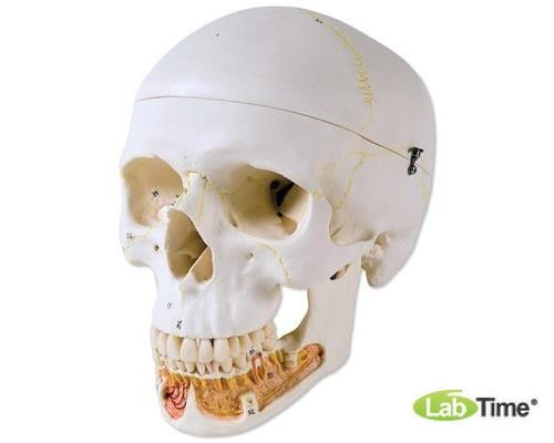 Классическая модель черепа, с открывающейся челюстью, 3 части