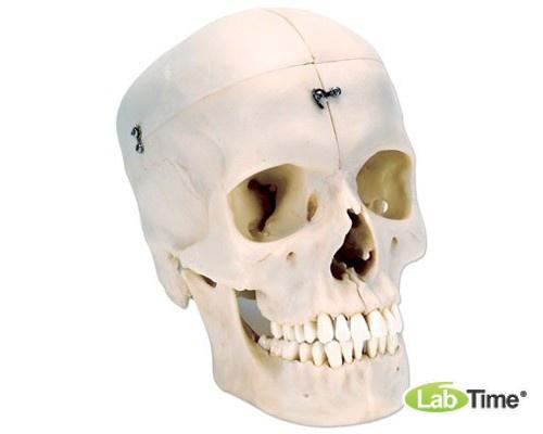 Модель черепа, материал BONElike™, 6 частей