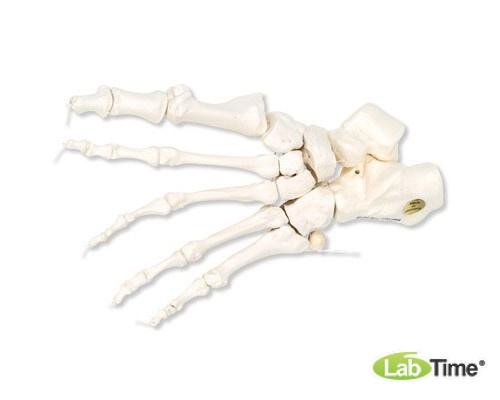 Модель скелета левой стопы, соединенная нейлоновой нитью