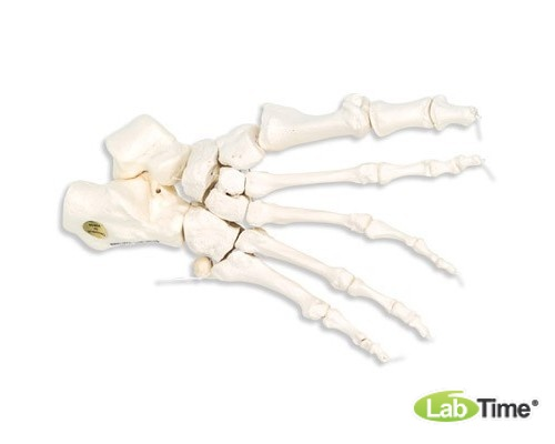 Модель скелета правой стопы, соединенная нейлоновой нитью