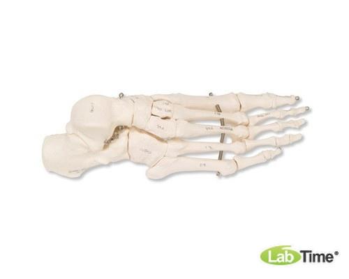 Модель скелета правой стопы, на проволочном креплении