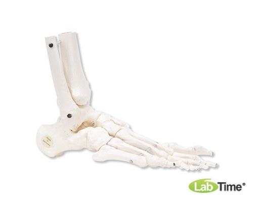 Модель скелета правой стопы с фрагментами большеберцовой и малоберцовой костей, на гибком креплении