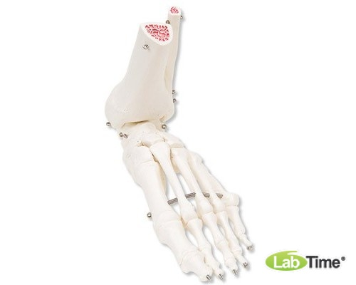 Модель скелета левой стопы с фрагментами большеберцовой и малоберцовой костей, на проволочном крепле