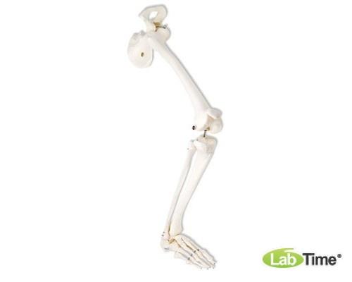 Модель скелета правой ноги с тазовой костью
