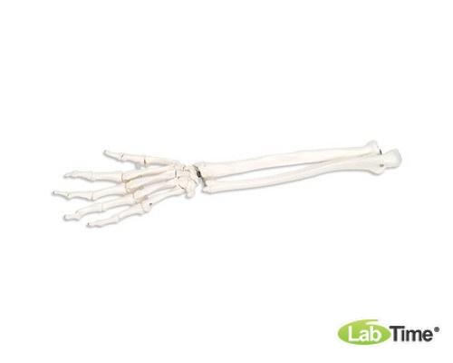 Модель скелета правой кисти с фрагментами локтевой и лучевой костей, на гибком креплении