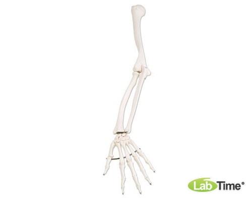 Модель скелета левой руки
