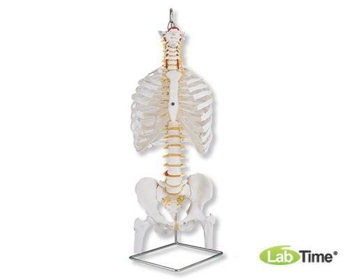 Классическая модель гибкого позвоночника с ребрами и головками бедренных костей