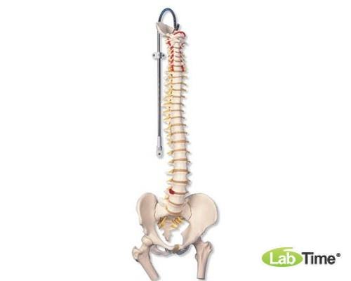 Классическая модель гибкого позвоночника с головками бедренных костей
