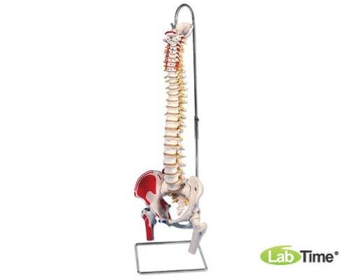 Классическая модель гибкого позвоночника с головками бедренных костей и разметкой мышц