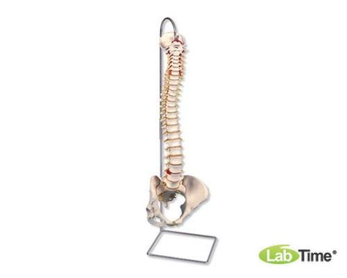 Классическая модель гибкого позвоночника с женским тазом