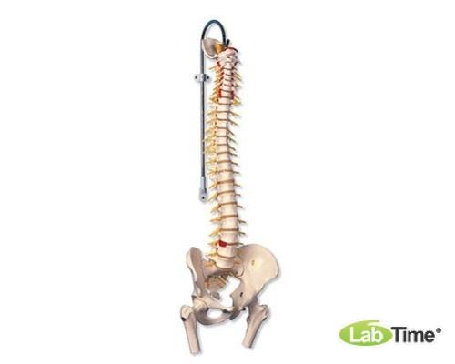 Модель гибкого позвоночника с головками бедренных костей класса «люкс»