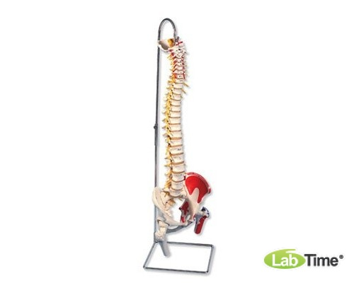 Модель гибкого позвоночник с головками бедренных костей и разметкой мышц класса «люкс»