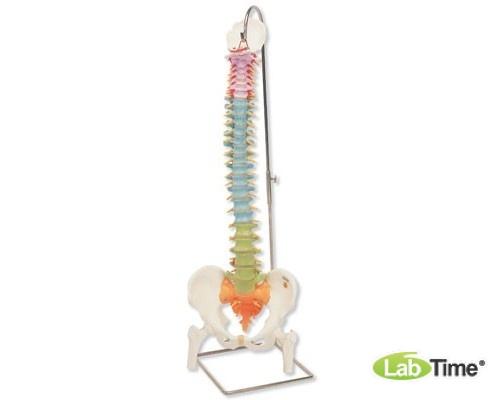 Дидактическая модель гибкого позвоночника с головками бедренных костей