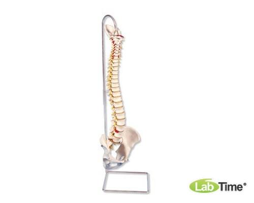 Модель позвоночника с повышенной гибкостью, с головками бедренных костей