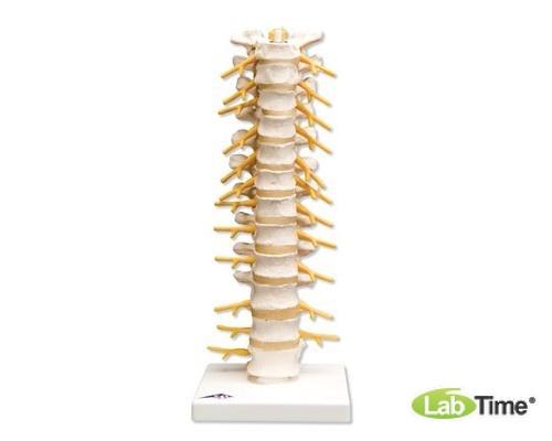 Модель грудного отдела позвоночника