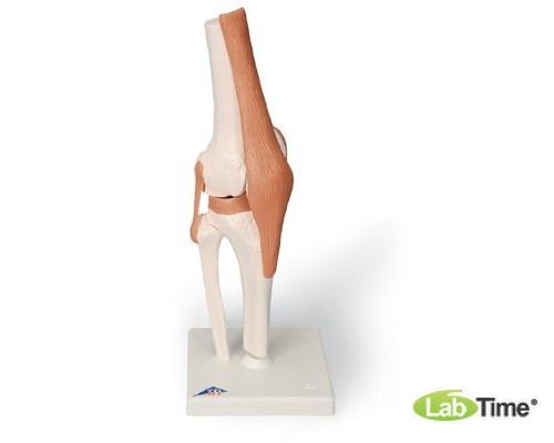 Функциональная модель коленного сустава