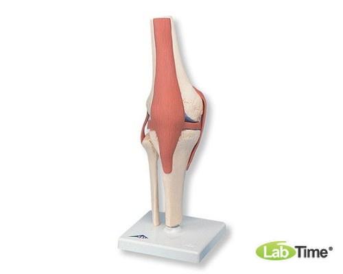 Функциональная модель коленного сустава класса «люкс»