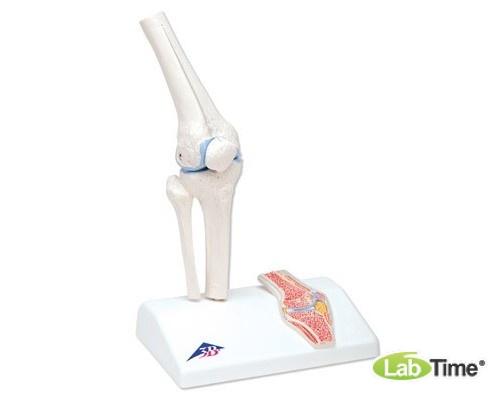 Мини-модель коленного сустава с поперечным сечением