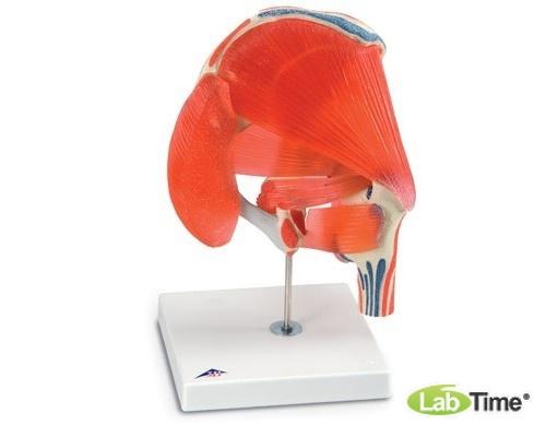 Модель тазобедренного сустава, 7 частей