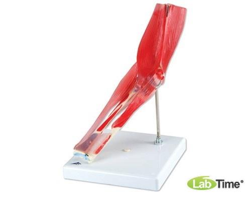 Модель локтевого сустава, 8 частей