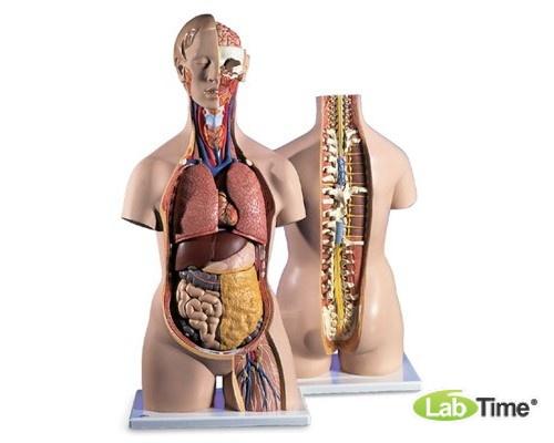 Классическая модель, бесполая, с открытыми шеей и спиной, 18 частей