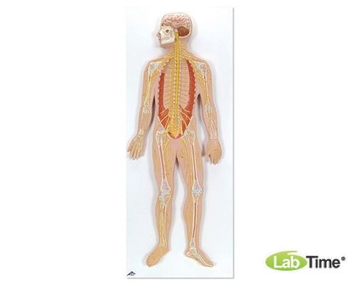 Модель нервной системы