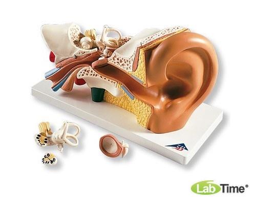 Модель уха, 3-кратное увеличение, 4 части