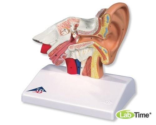 Настольная модель уха, 1.5-кратное увеличение