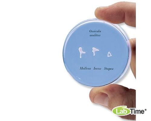 Набор из слуховых косточек в натуральную величину