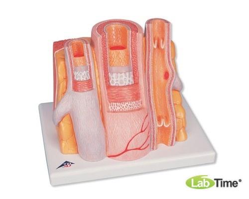Модель артерии и вены 3B MICROanatomy™