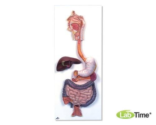 Модель пищеварительной системы, 2 части