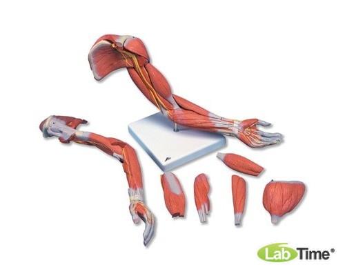 Модель руки с мыщцами, 6 частей