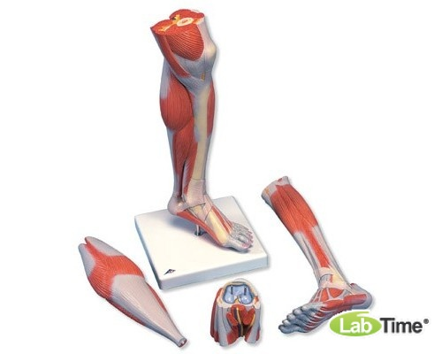 Модель нижней части ноги с мышцами и коленным суставом, 3 части