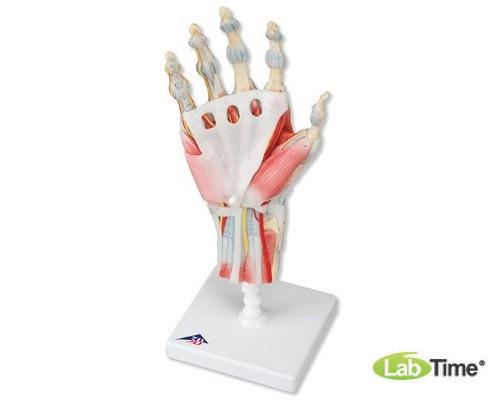 Модель скелета руки со связками и мышцами