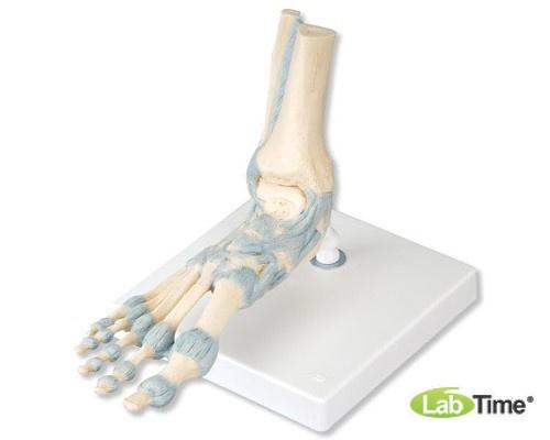 Модель скелета стопы со связками