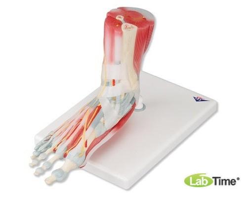 Модель скелета стопы со связками и мышцами